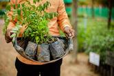 Cambodia seedlings